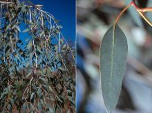 branches, adult leaves and leaf