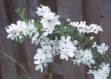 flowering shoot