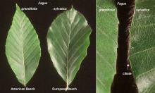 leaf and margin, comparison