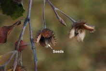 fruit at seed drop, fall