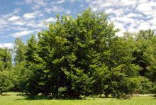 plant habit, multi-stemmed shrub