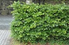 grown as a hedge