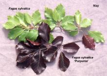comparison of leaves in May