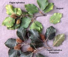 comparison of leaves in August