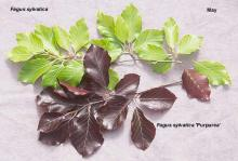 leaves (May), comparison with species