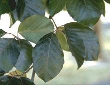 leaves, August