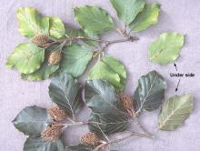 leaves (August), comparison with species
