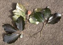 leaves and fruit, May