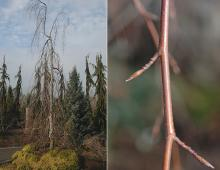 plant habit and buds, winter