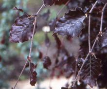 leaves, early May