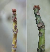 twig, bud, winter