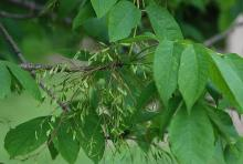 leaves and fruit clusters
