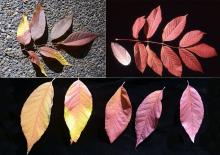 variation in leaf and leaflet color