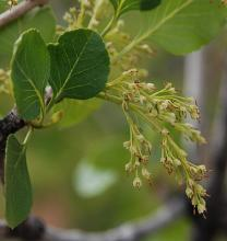 leaves and flower cluster
