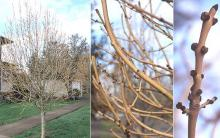 winter, plant habit, bark and buds