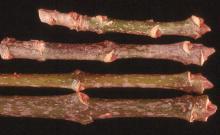 twigs, bark, winter