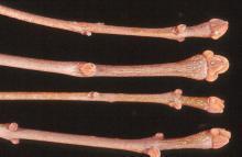 twig, buds, winter