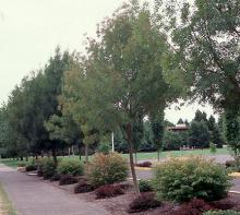 row of trees, summer