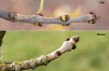 twigs and buds, fall and winter