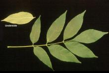 leaf, summer