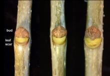 lateral buds, late fall