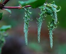 male catkins, early winter