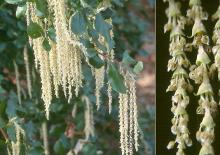 male catkins and leaves