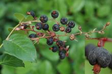 fruit cluster and fruit