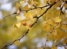 leaves and fruit, fall