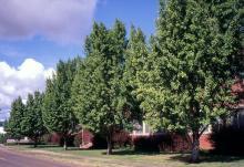 plant habit, row of trees