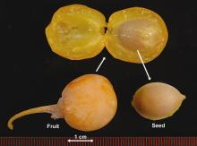 ripe fruit and seed