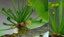 female flower cluster