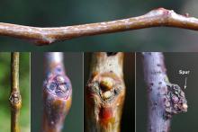 twig, buds