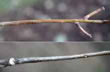 twig and buds, winter