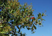 leaves and young fruit