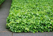 plant habit, ground cover