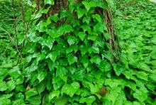 plant habit, climbing a tree