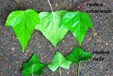 leaf blades, comparison