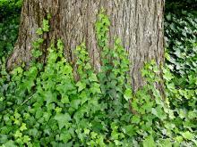 plant habit, juvenile