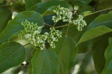 leaves and flower clusters