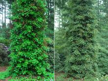 plant habit, shady, before and at flowering