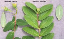 leaf, comparison with <i>H.</i> 'Hidcote'