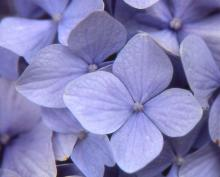 sterile flower