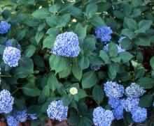 flower clusters and foliage