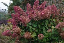 plant habit, early fall flowering