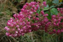 plant habit, flower cluster, fall