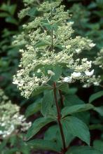 plant habit, flower cluster