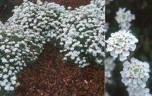 plant habit flowering and flowers
