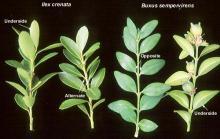 leafy shoots, comparison