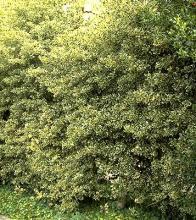 plant habit, Ilex aquifolium 'Argentea Marginata'